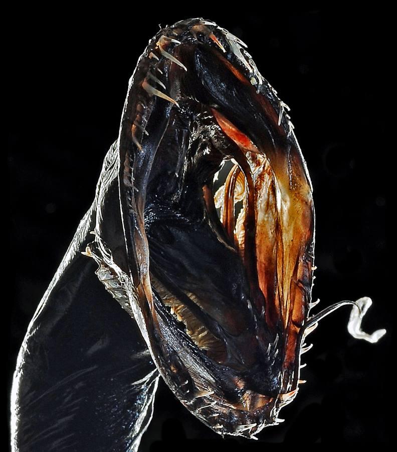 10. Pez Dragón Negro